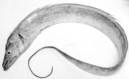养生保健产品带鱼