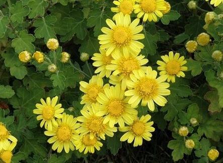 绿色养生产品菊花