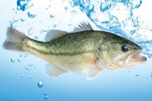 鲈鱼保健品