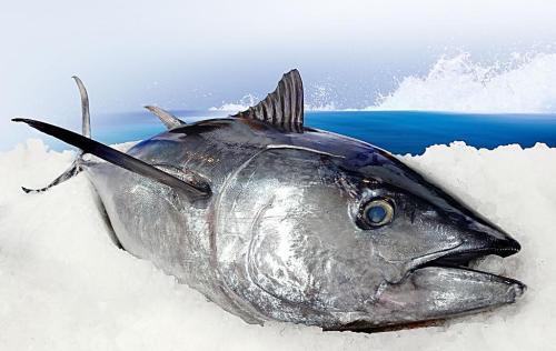 养生产品金枪鱼