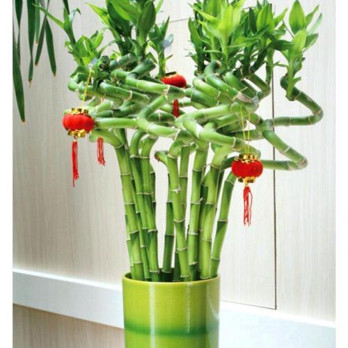 富贵竹有喜庆寓意改善空气质量