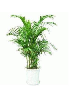 散尾葵去除空气中的苯三氯乙烯