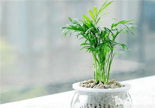 袖珍椰能净化空气中的苯
