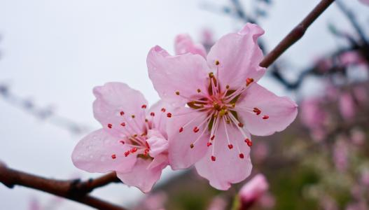 桃花美容养颜功效