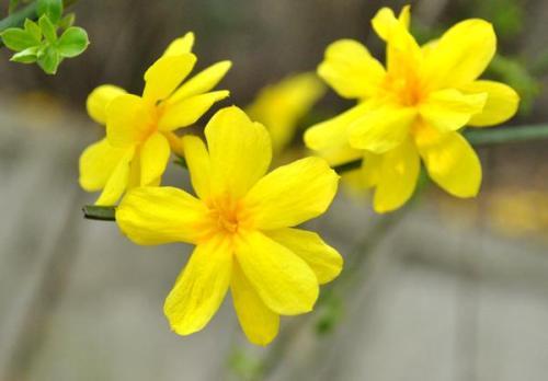 迎春花防治高血压