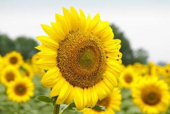 向日葵清热化痰