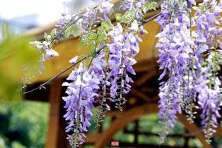 紫藤治疗筋骨疼,防止酒腐变质
