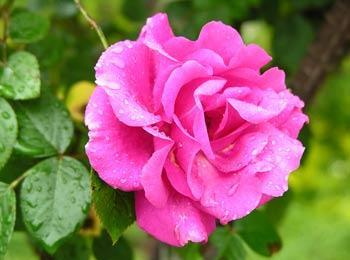 蔷薇清暑,和胃,解毒