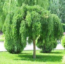 龙爪槐叶和根皮有清热解毒作用
