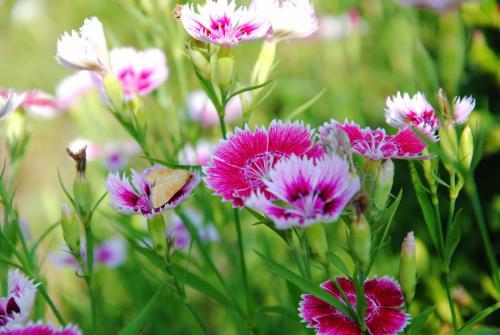 石竹花语为纯洁的爱,还有清热利尿的功效