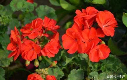 天兰葵花语是幸福就在你身边,还有美容的作用
