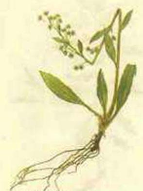 药茶(318)-披针叶兔耳风水
