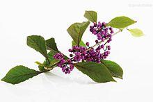 药茶(330)-紫珠水